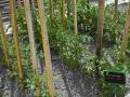 azkoitiko baratza-tomatea