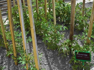 huerta urbana azkoitia-tomate