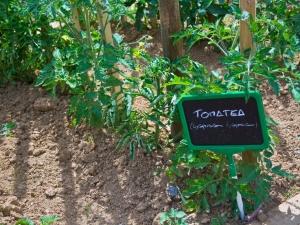 azkoitiko baratza-tomatea II