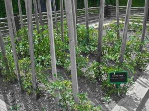 azkoitiko baratza-tomatea III
