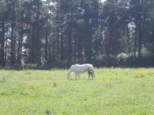 Caballo blanco precioso