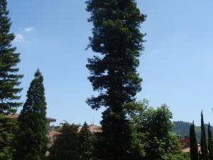 Monterron parkeko sequoya erraldoia